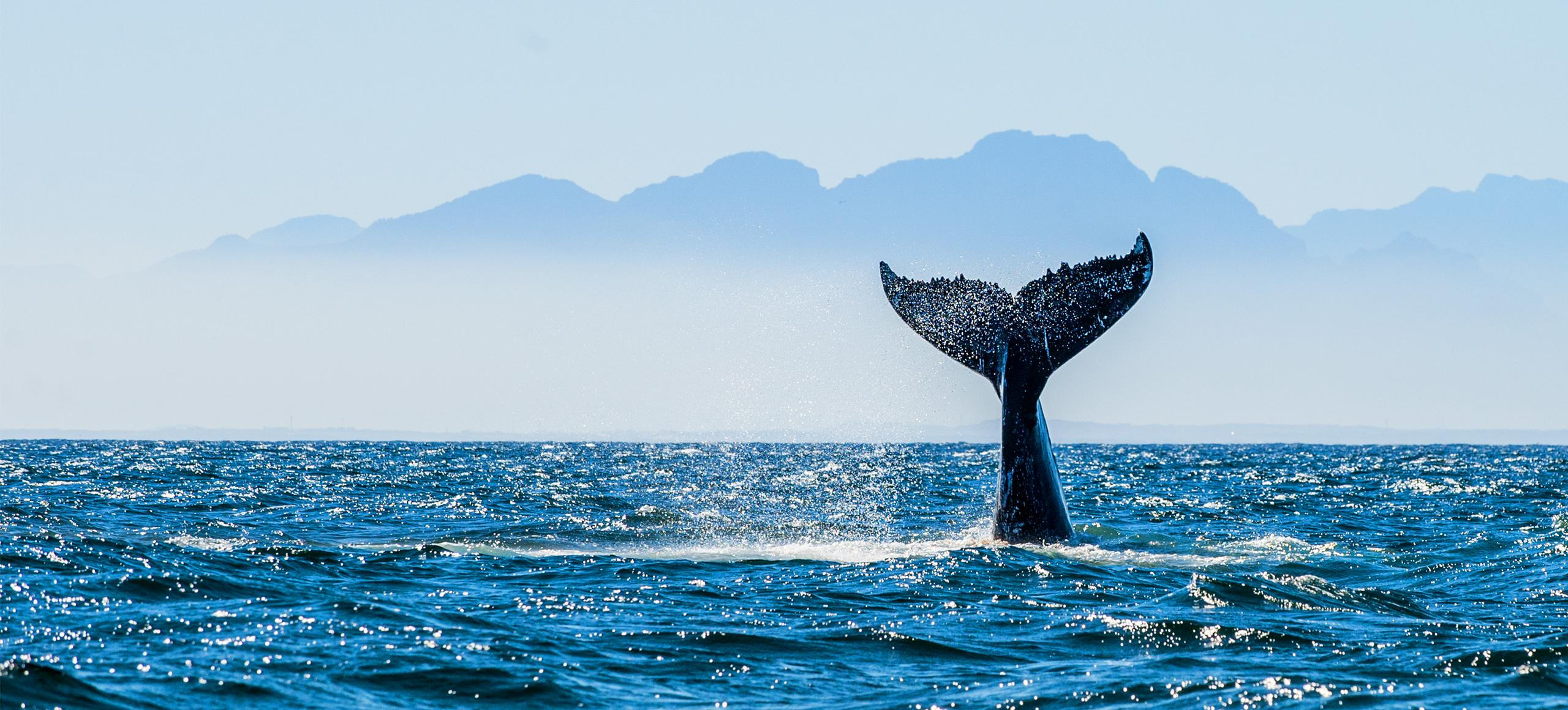 Whale in the ocean